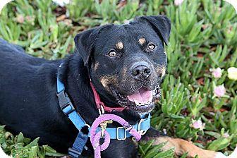 Rottweiler Mix Dog for adoption in Berkeley, California - Taz