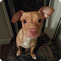 Adopt A Pet :: Gizmo - Mount Kisco, NY