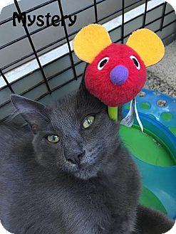 Domestic Mediumhair Kitten for adoption in Redwood City, California - Mystery, Micah, Mao