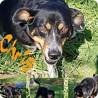Adopt A Pet :: Chris - Henderson, KY