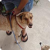 Adopt A Pet :: Rocco - Port Isabel, TX