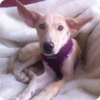 Adopt A Pet :: Marvelous Maddie - Brooklyn, NY