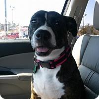 Adopt A Pet :: Casey - Westminster, MD