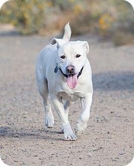 Labrador Retriever/Shar Pei Mix Dog for adoption in Washoe Valley, Nevada - Buddy