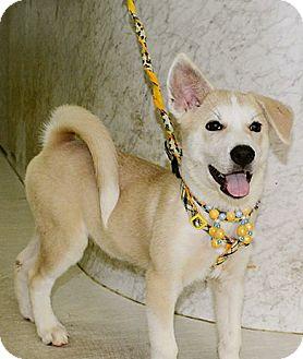 Husky Mix Puppy for adoption in Surrey, British Columbia - Logan