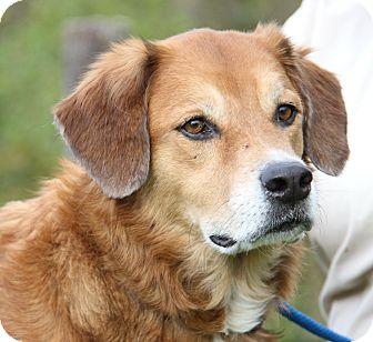 Golden Retriever Mix Dog for adoption in Marietta, Ohio - Chance (Neutered)