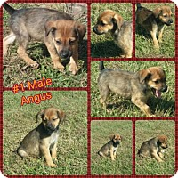 Adopt A Pet :: Angus adoption pending - Manchester, CT