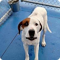 Adopt A Pet :: Cooper - New Kent, VA