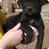 Pug/Cattle Dog Mix Puppy for adoption in Lincoln, Nebraska - Naron