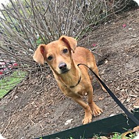 Dachshund Mix Dog for adoption in San Antonio, Texas - A420927 Pracheezi