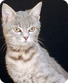 Domestic Shorthair Kitten for adoption in Newland, North Carolina - Luvee