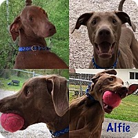 Adopt A Pet :: Alfie - Bristolville, OH
