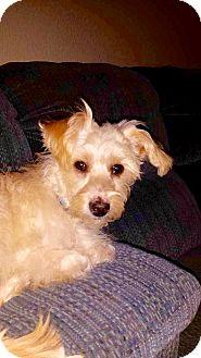 Miniature Schnauzer Mix Puppy for adoption in Newport Beach, California - Gwen