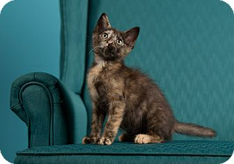 Domestic Shorthair Kitten for adoption in St. Louis, Missouri - Smidgen