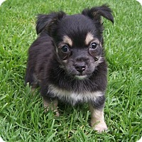 Adopt A Pet :: Thor - La Habra Heights, CA