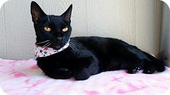 Domestic Shorthair Cat for adoption in Seal Beach, California - Pantera