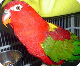 Lorikeet for adoption in Frederick, Maryland - Tuckie