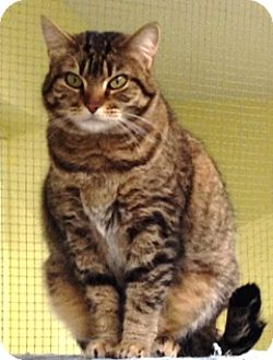 Domestic Mediumhair Cat for adoption in Fort Benton, Montana - Punky