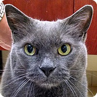 Domestic Mediumhair Cat for adoption in Norwalk, Connecticut - Swizzle