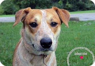 Cattle Dog/Australian Cattle Dog Mix Dog for adoption in Sidney, Ohio - Molly Mae