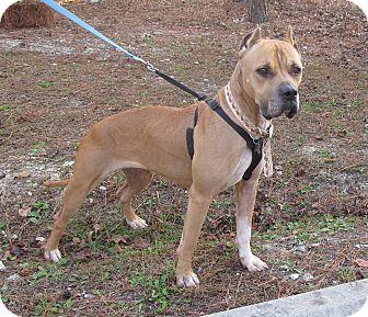 Boxer Mix Dog for adoption in Burgaw, North Carolina - Tootsie