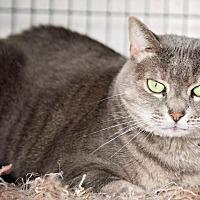 Domestic Shorthair Cat for adoption in Freeport, New York - Felony (Kitty)