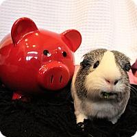 Adopt A Pet :: Dumbo - Seattle, WA