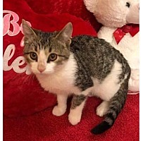 Adopt A Pet :: Choji - Arlington/Ft Worth, TX