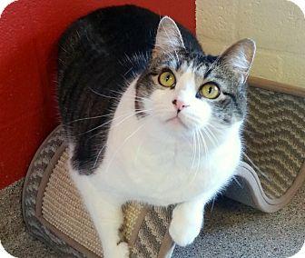 Domestic Shorthair Cat for adoption in Sarasota, Florida - Mattie