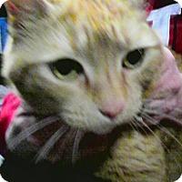 Adopt A Pet :: Mango - Trevose, PA