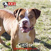 Adopt A Pet :: Chester - St. Clair Shores, MI
