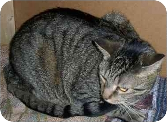 Domestic Shorthair Cat for adoption in Odenton, Maryland - Baby Girl