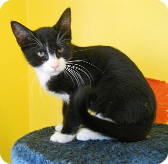 Domestic Shorthair Kitten for adoption in Mobile, Alabama - Bellagio