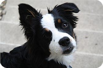 Australian Shepherd Dog for adoption in Minneapolis, Minnesota - Millie