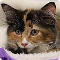 Adopt A Pet :: Orbit - Alexandria, VA