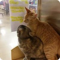 Adopt A Pet :: Callen the Pixiebobtail! - McDonough, GA