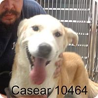 Adopt A Pet :: Casear - Greencastle, NC