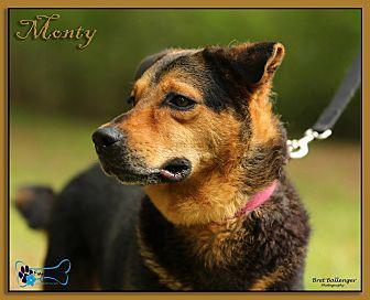 German Shepherd Dog/Labrador Retriever Mix Dog for adoption in Sarasota, Florida - Monte