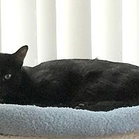 Adopt A Pet :: Shelby - Harrison, NY