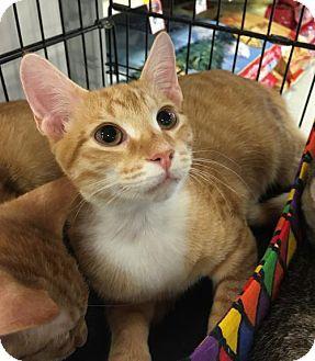 Domestic Shorthair Kitten for adoption in Boynton Beach, Florida - Rocky