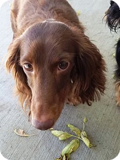 Dachshund Mix Dog for adoption in Kalamazoo, Michigan - Max