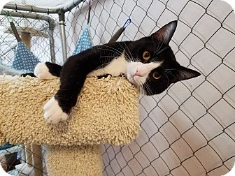 Domestic Shorthair Kitten for adoption in Fallbrook, California - Figaro