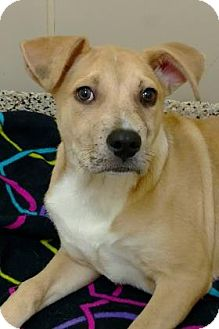 Labrador Retriever Mix Puppy for adoption in Aiken, South Carolina - Quinn