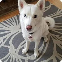 Siberian Husky Dog for adoption in Monument, Colorado - Snow - Adopted!