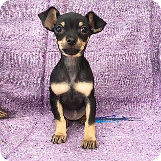 Miniature Pinscher/Spaniel (Unknown Type) Mix Puppy for adoption in santa monica, California - Ceviche
