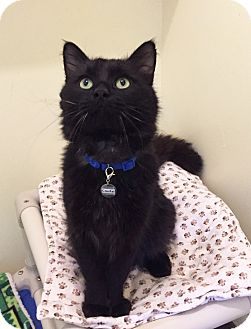 Domestic Longhair Cat for adoption in Colorado Springs, Colorado - Coufal