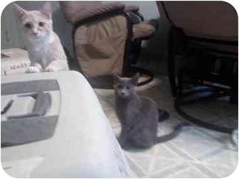 Domestic Shorthair Kitten for adoption in Washington Terrace, Utah - Tolstoy
