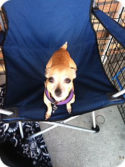 Chihuahua Mix Dog for adoption in North Hollywood, California - Devon