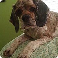 Adopt A Pet :: Bobby - Sugarland, TX