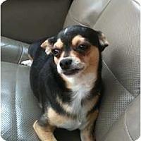 Adopt A Pet :: Stevie - Arlington, TX